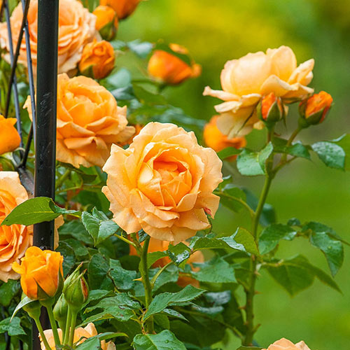 Golden Opportunity<sup>™</sup> Climbing Rose