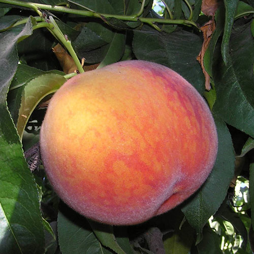 Bonita Peach