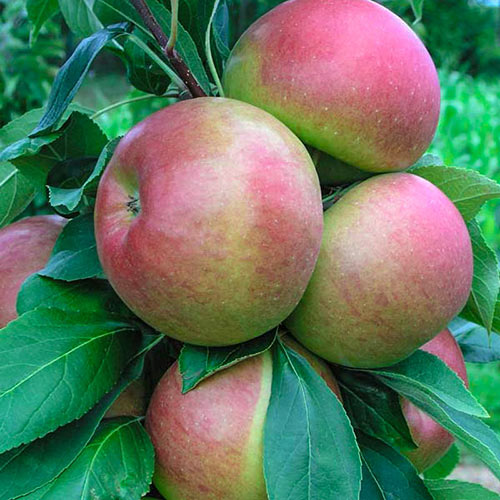 Blushing Delight <sup>™</sup> Urban Apple<sup>®</sup>