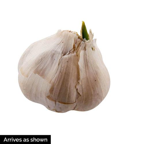 Nootka Rose Softneck Garlic