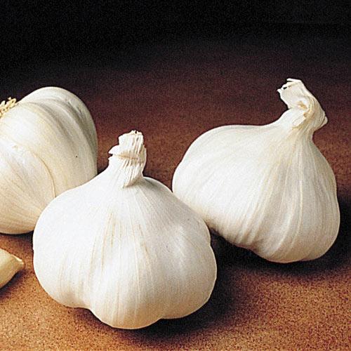 Great Lakes Softneck Garlic