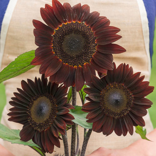 Rouge Royale Sunflower Seed