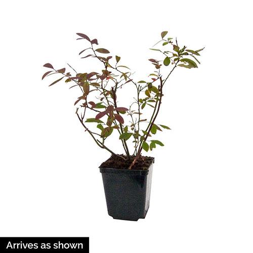 Dwarf Tophat Lowbush Blueberry Plant