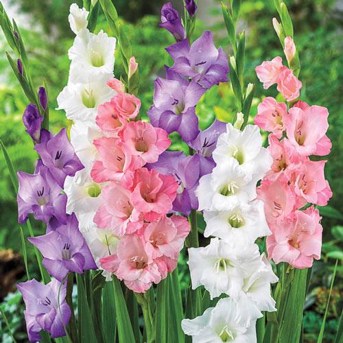 Gladiolus Pastel Mix