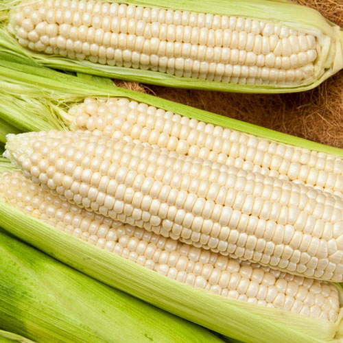 Gotta Have It<sup>®</sup> White Hybrid Sweet Corn Seed