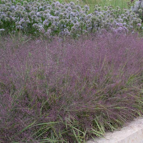 Purple Love Grass Plant
