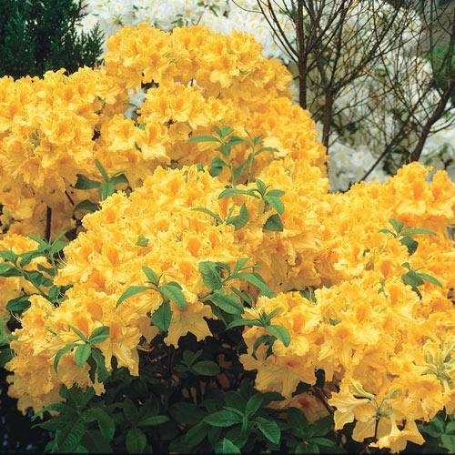 Golden Lights Hardy Azalea