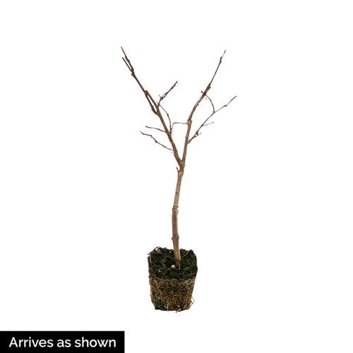 Tonto Hardy Crape Myrtle Plant