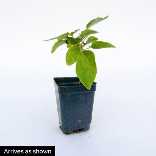 Piilu Clematis Plant