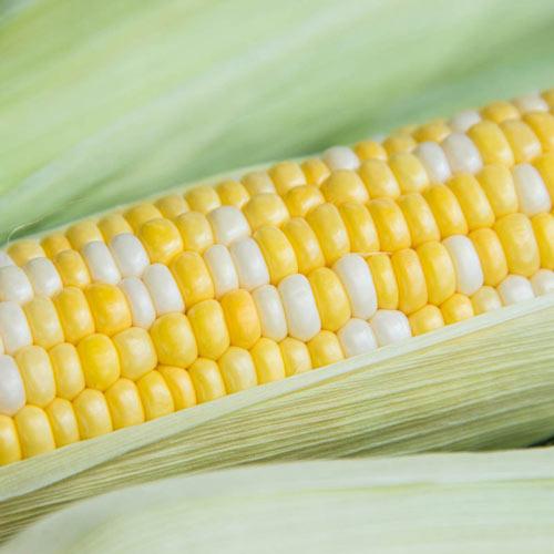 Simply Irresistible™ Hybrid Sweet Corn Seed