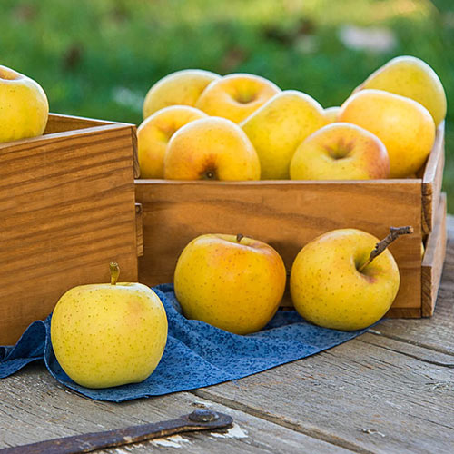 Crunch-A-Bunch™ Apple Tree