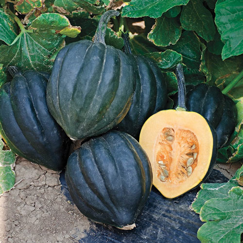 Black Bellota Hybrid Acorn Seed