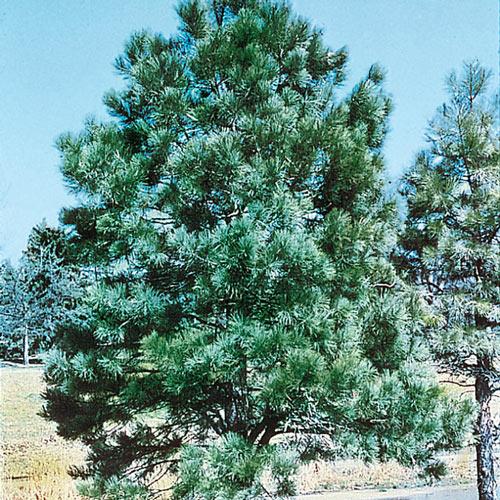 Austrian Pine Tree