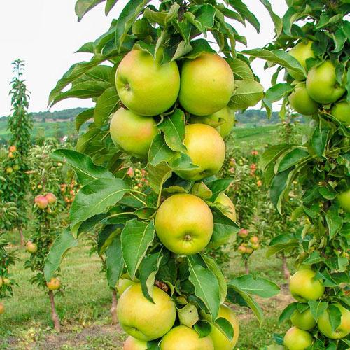 Tangy Green <sup>™</sup> Urban Apple<sup>®</sup>