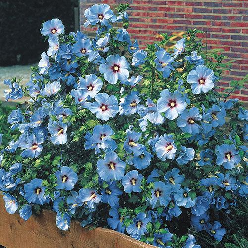 Bluebird Hibiscus Plant