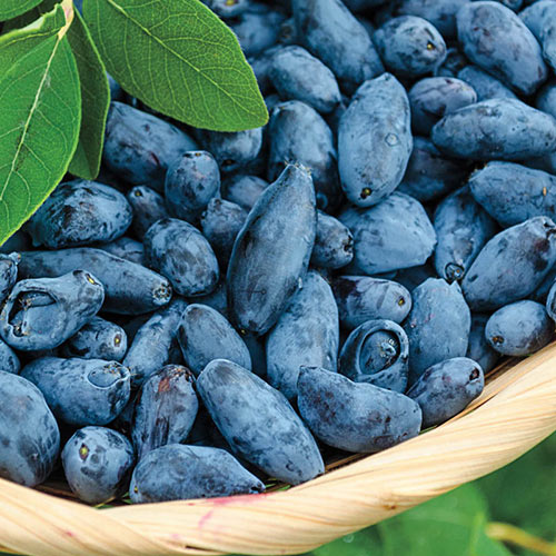 Early Blue<sup>™</sup> Honeyberry Plant