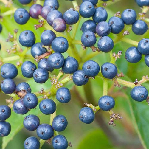 Autumn Jazz<sup>™</sup> Viburnum Hedge