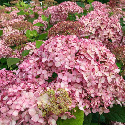 Pinkerella Hydrangea Plant