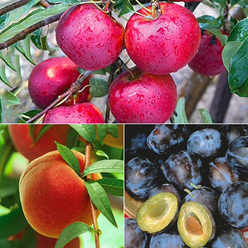 Reachables<sup>®</sup> Fruit Tree Variety Pack