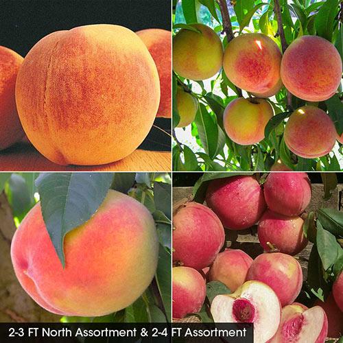 Peach Fruit Tree Assortment