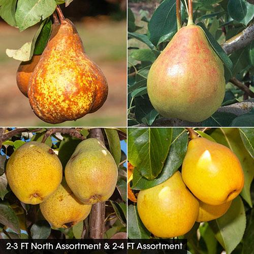 Pear Fruit Tree Assortment
