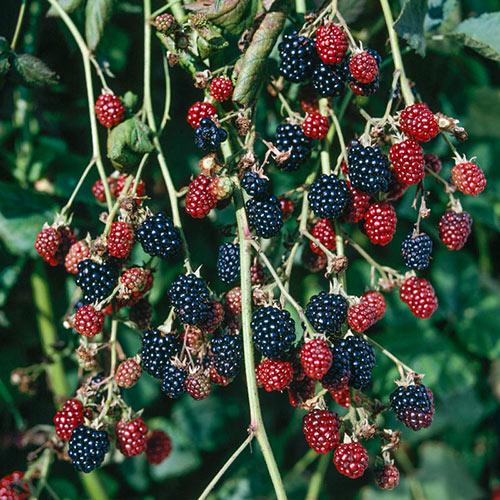 Hall's Beauty Thornless Blackberry