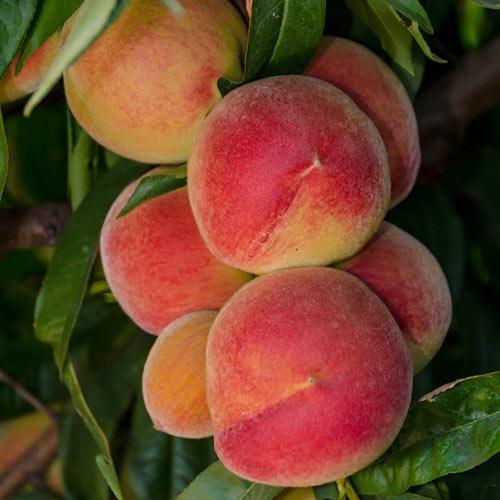 Feicheng Tao White Peach Tree