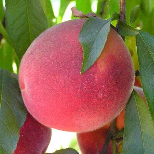 John Fanick™ Peach Tree