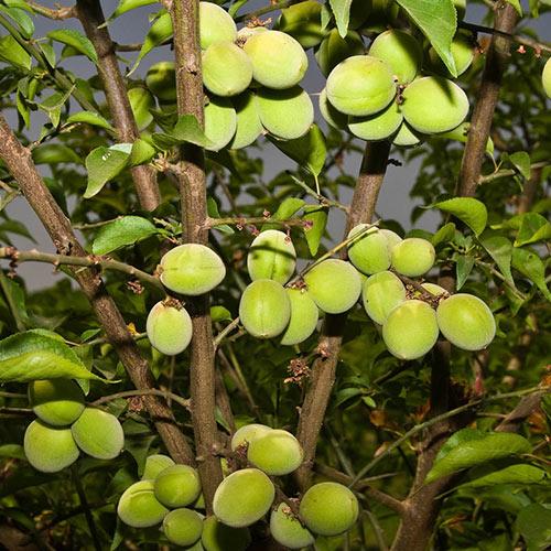 Koume Apricot Tree