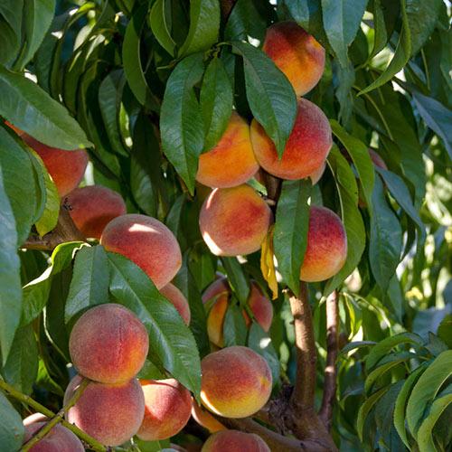 Peachy Keen<sup>®</sup> Peach Tree