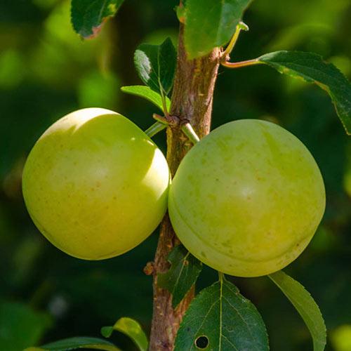 Persian Green Plum Tree