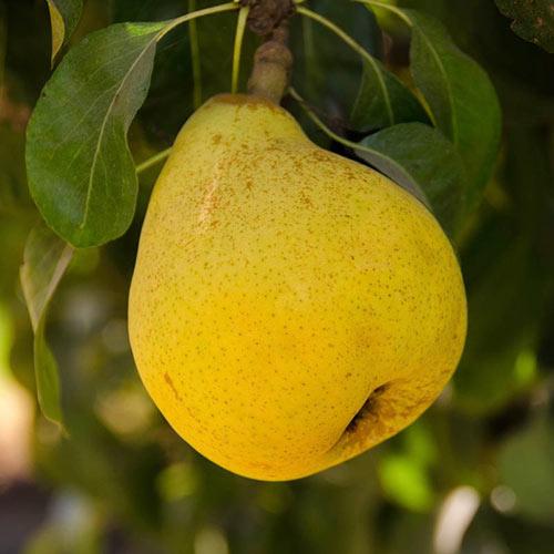 Beurre D'anjou Pear Tree
