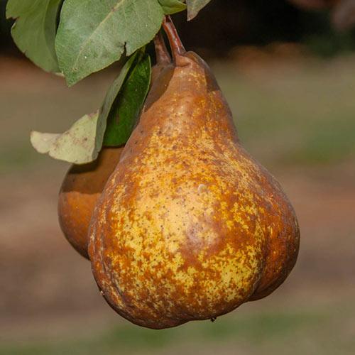 Bosc Pear Tree