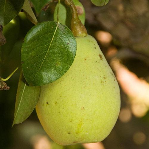 Fan-Cris™ Pear Tree
