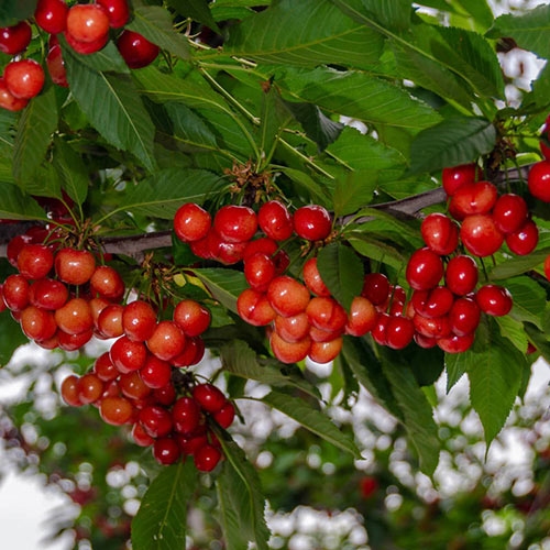 Tulare Cherry Tree