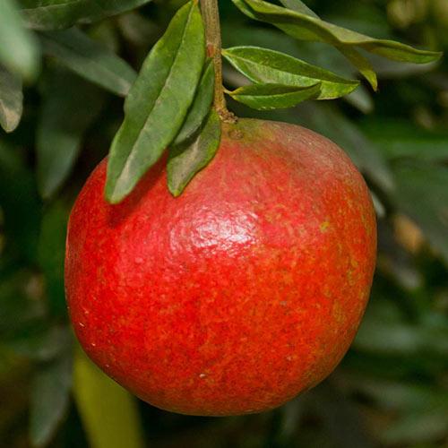Austin Pomegranate