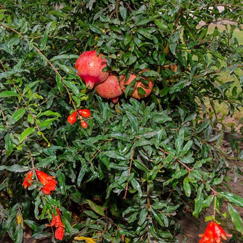 Texas Hardy Pomegranate