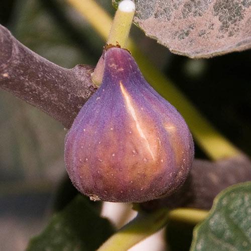 Celestial Pie Fig