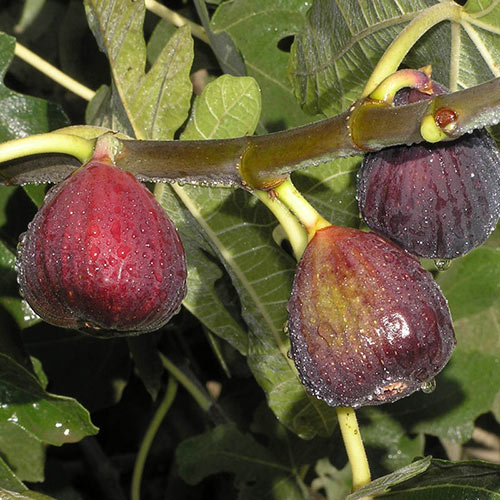 Italian Everbearing Fig