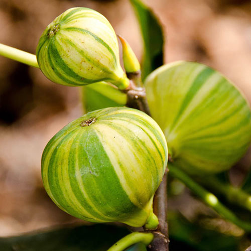Panache Tiger Fig
