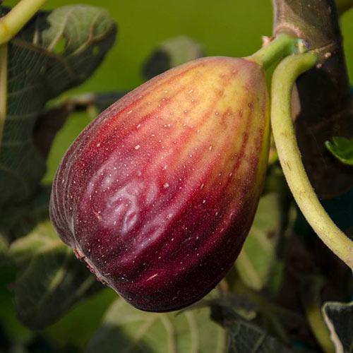 Texas Blue Giant Fig