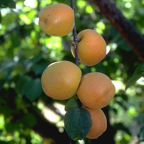 Autumn Royal Apricot Tree
