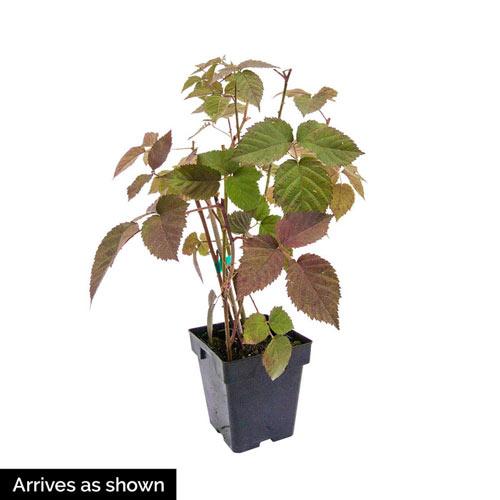 Crimson Night Raspberry Plant