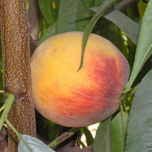 Rubidoux Peach