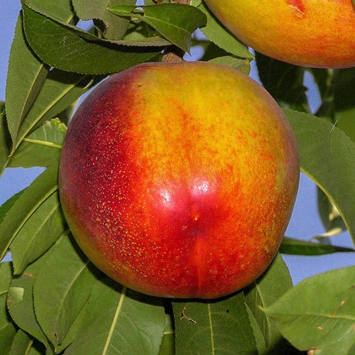 Flavortop Nectarine Tree