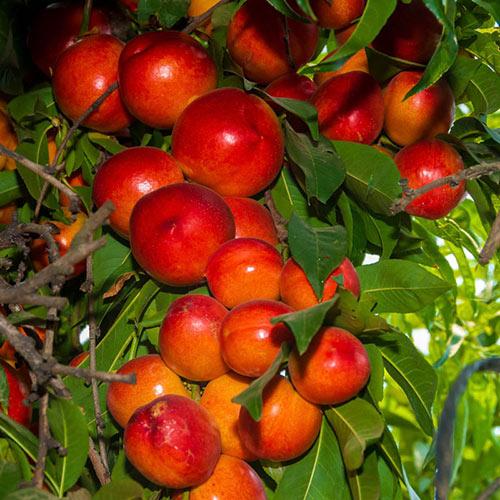 Sunred Nectarine Tree