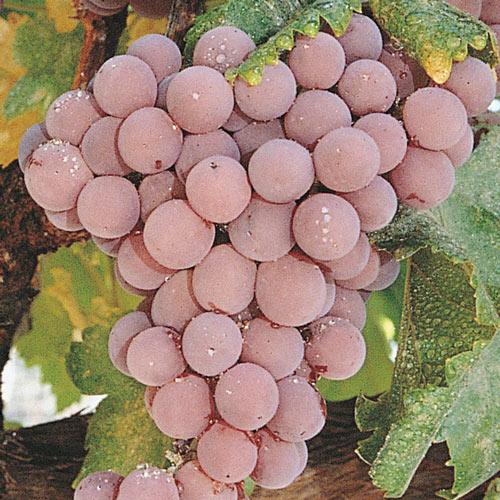 Pink Reliance Seedless Grape Vine