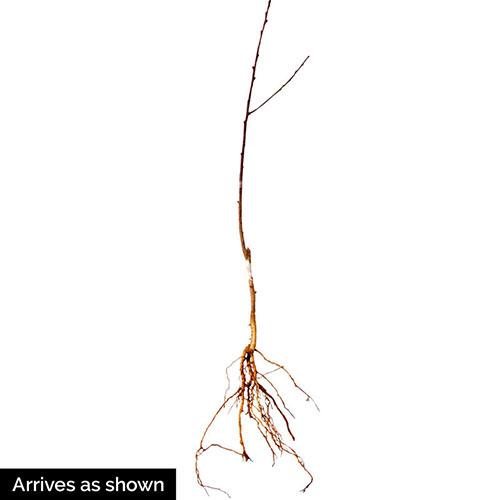 Nuisseiki Asian Pear Tree