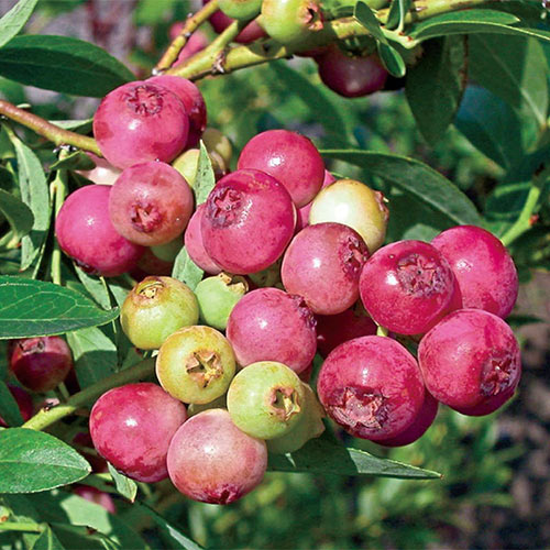 Pink Lemonade Blueberry Plant