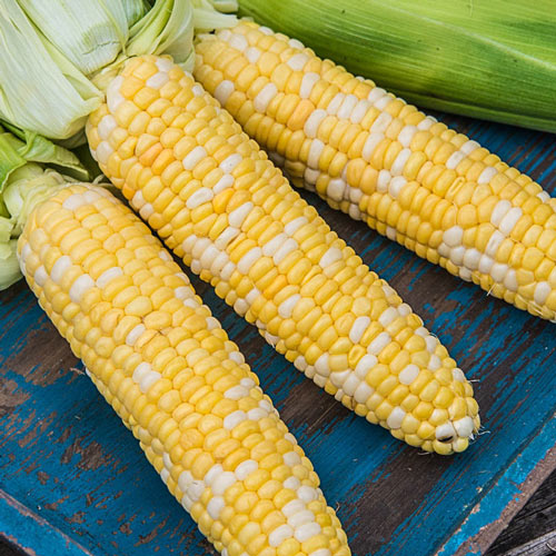 Picasso Hybrid Sweet Corn Seed (sy)